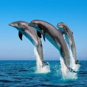 3 милых дельфина выныривающих из воды обязательно принесут тебе счастье
